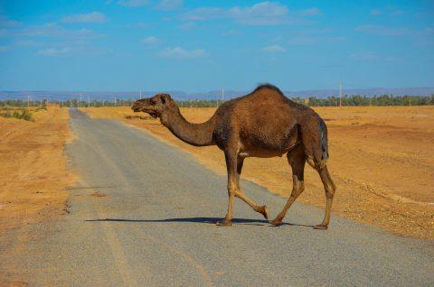 Cruising camel