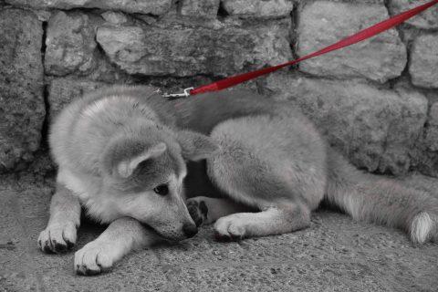 Italian puppy
